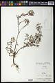 View Caesarea albiflora Cambess. digital asset number 0