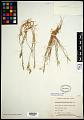 View Calamagrostis deschampsioides Trin. digital asset number 0