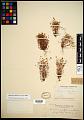 View Minuartia californica (A. Gray) Mattf. digital asset number 0