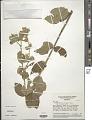 View Banisteriopsis variabilis B. Gates digital asset number 1