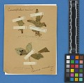 View Botanical Specimens From Quileute Indians digital asset number 14