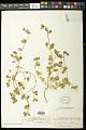 View Euphorbia carunculata Waterf. digital asset number 0
