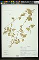 View Hibiscus micranthus L. f. digital asset number 0