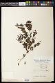 View Myrciaria tenella (DC.) O. Berg digital asset number 0