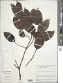 View Gnetum paniculatum Spruce ex Benth. digital asset number 0
