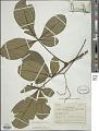 View Vitex chrysocarpa Planch. ex Benth. digital asset number 1