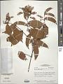 View Banisteriopsis pubipetala (A. Juss.) Cuatrec. digital asset number 1