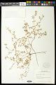 View Euphorbia geyeri Engelm. digital asset number 0