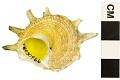 View Wheel-like Star Shell, Star-shell digital asset number 0