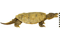 View Snapping Turtle digital asset number 4