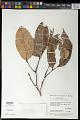 View Licania micrantha Miq. digital asset number 0