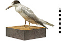View Common Tern digital asset number 5