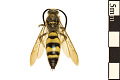 View Scollid Wasp digital asset number 0