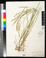 View Agrostis pallens Trin. digital asset number 0