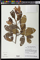 View Tapirira obtusa (Benth.) J.D. Mitch. digital asset number 0