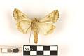 View Cabbage Looper Moth digital asset number 1