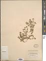 View Euphorbia stictospora Engelm. digital asset number 1