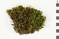 View Ohio Polytrichum Moss, Ohio Haircap Moss digital asset number 0