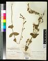 View Penstemon pseudospectabilis var. connatifolius (A. Nelson) D.D. Keck digital asset number 0