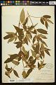 View Tibouchina longifolia (Vahl) Baill. digital asset number 0