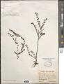 View Euphorbia porteriana (Small) Oudejans digital asset number 1
