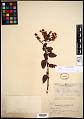 View Ceanothus thyrsiflorus Eschsch. digital asset number 0