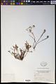 View Quinchamalium procumbens Ruiz & Pav. digital asset number 0
