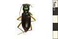 View Virginia Big-headed Tiger Beetle digital asset number 0