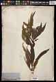 View Helianthus grosseserratus M. Martens digital asset number 0