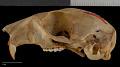 View Sciurus aberti ferreus True, 1900 digital asset number 8