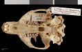 View Marmota caligata cascadensis Howell, 1914 digital asset number 8
