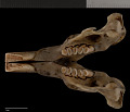 View Orthogeomys grandis felipensis Nelson & Goldman, 1930 digital asset number 2