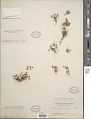 View Ranunculus sp. digital asset number 1