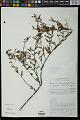 View Sebastiania salicifolia (Mart.) Pax digital asset number 0