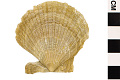 View Fossil Scallop, Scallop digital asset number 2