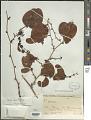View Smilax cognata Kunth digital asset number 1
