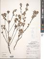 View Waltheria selloana K. Schum. digital asset number 1