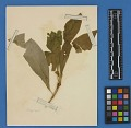 View Botanical Specimens From Quileute Indians digital asset number 35