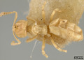 View Acropyga (Rhizomyrma) wheeleri digital asset number 3