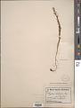 View Arjona tandilensis Kuntze digital asset number 1