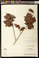 View Bredemeyera myrtifolia Spruce ex A.W. Benn. digital asset number 0