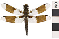 View Common Whitetail, Common Skimmer, Common Skimmer digital asset number 1