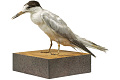 View Common Tern digital asset number 12