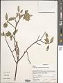 View Humbertiella sakamaliensis (Hochr.) Dorr digital asset number 1
