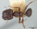 View Pheidole walkeri digital asset number 0