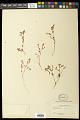 View Euphorbia cumbrae Boiss. digital asset number 0