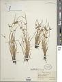 View Cyperus fuscus L. digital asset number 1