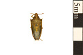 View Rice Stink Bug, Stink Bug digital asset number 0