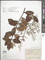 View Bredemeyera altissima (Poepp.) A.W. Benn. digital asset number 1