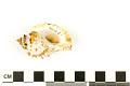 View Frilled Frog Snail, Frilled Frog Shell digital asset number 1